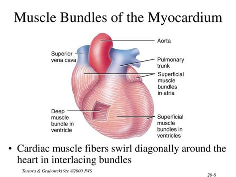 heart muscle about a centimeter thick picture 2