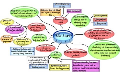 all functions of the liver picture 9