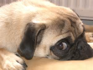 pugs and skin problems picture 7