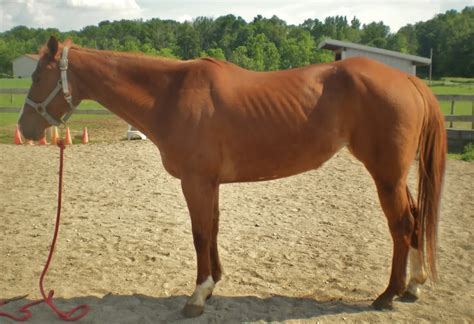 loss of weight in horses picture 1