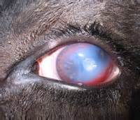 bacterial infections in goats picture 5