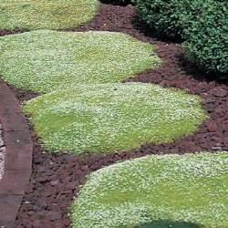white irish moss picture 15