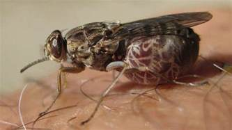 african sleeping sickness picture 10