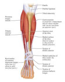 lateral lower leg muscle picture 11
