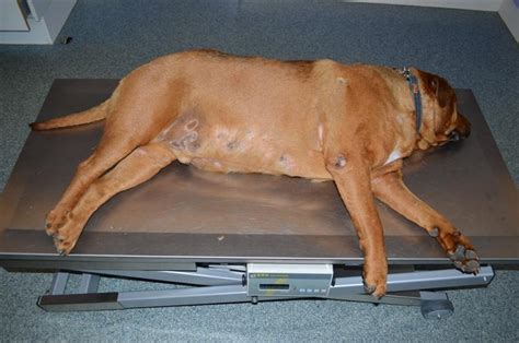 canine hyperthyroid meds picture 11