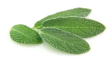 is diesel organic herbal salvia? picture 10