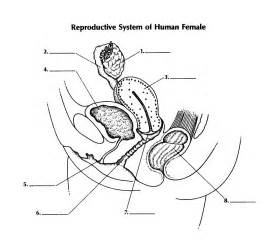 question on aging of the reproductive system picture 2
