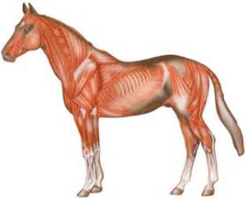 horse muscle system picture 9