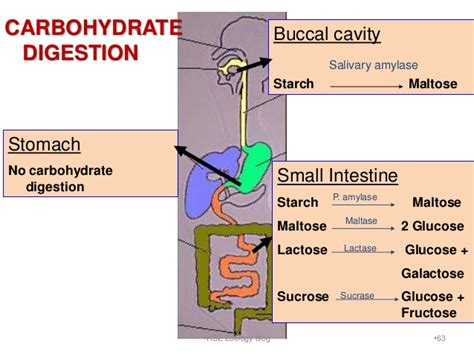 carbohydrate digestion picture 14