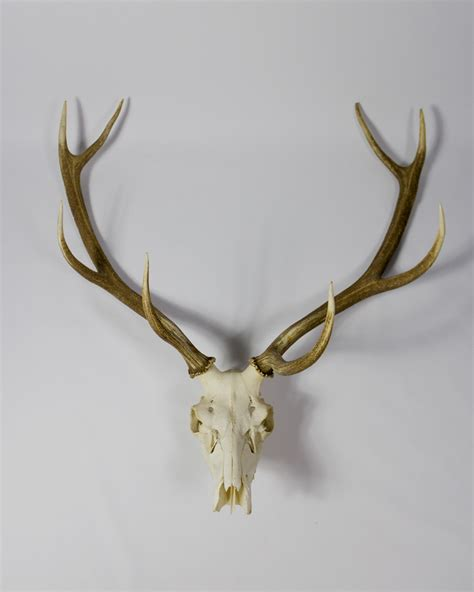 where can i buy bone or antler marijuana picture 10