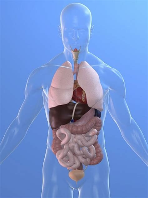where is the liver located in a human picture 3