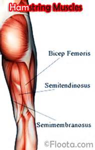 hamstring muscle picture 5