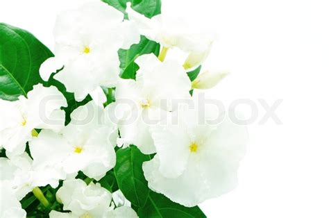 who sells crepe jasmine supplements picture 3