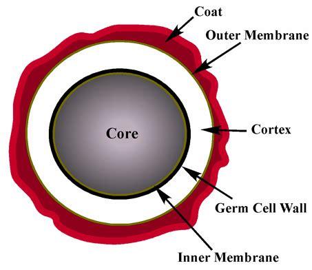 bacterial spores free spore forespore cortex spore coat picture 2