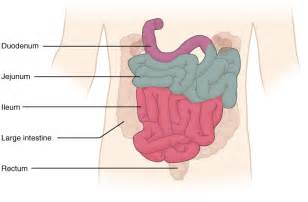 picture of small intestine and badder picture 13