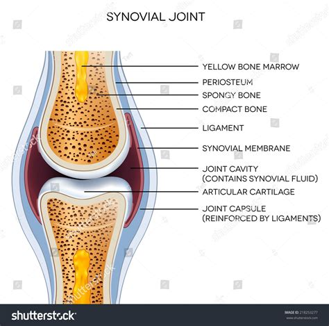 anatomy of a knee joint pictures and labels picture 12