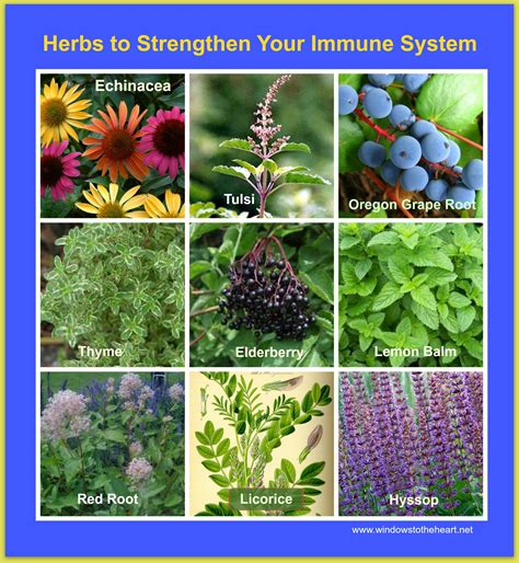 What herbal supplement help boost the immune system picture 4
