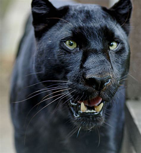 amazon black panther pill picture 1