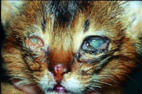 feline herpes virus picture 13