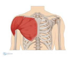 loose shoulder muscle anatomy picture 9