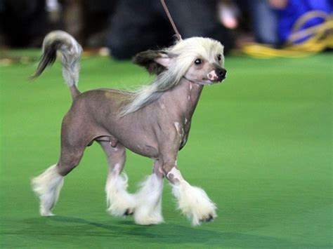 chinese crested dog skin disease picture 7