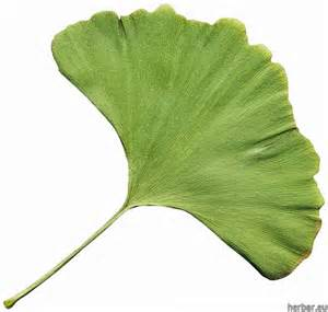 ginkgo benefits picture 9