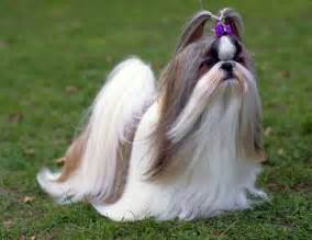 lhasa apso skin picture 18