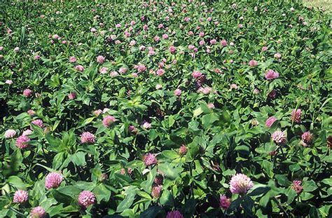 search : wikipedia for red clover picture 2
