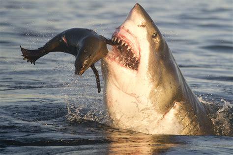 a shark's diet picture 7