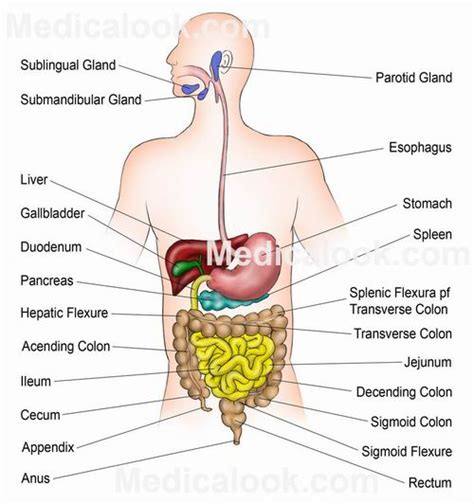 digestion appendix growling carbohydrates picture 15
