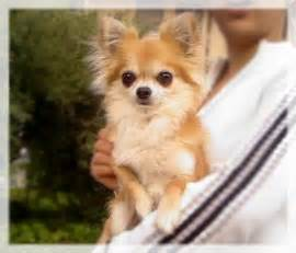 long hair chihuahua south carolina picture 7