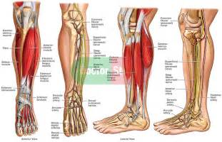 leg muscle illustration picture 13