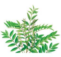 alfalfa tea picture 3