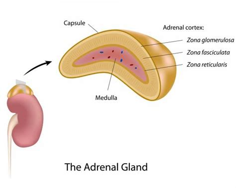 affects of aging on the adrenal cortex picture 12
