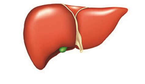 all functions of the liver picture 5