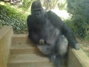gorillas penis picture 9