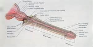 ayurvedic medicine for stricture urethra picture 15