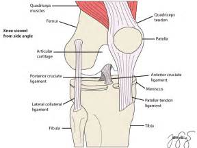 anatomy of a knee joint pictures and labels picture 15
