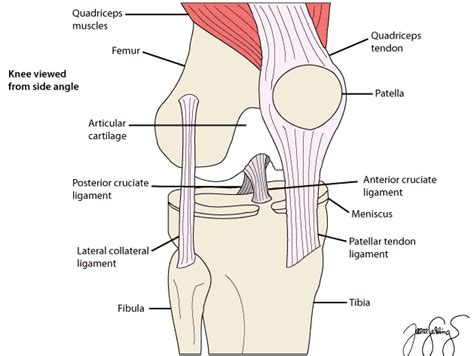 anatomy of a knee joint pictures and labels picture 7