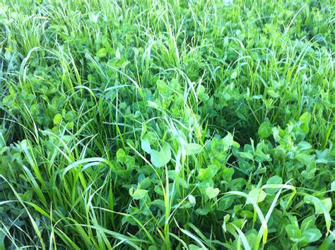 red clover yields picture 2