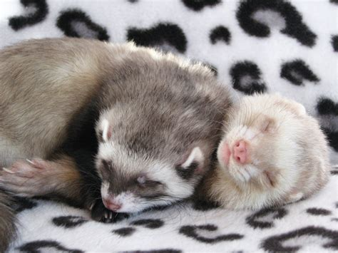 pictures of ferrets sleeping picture 14