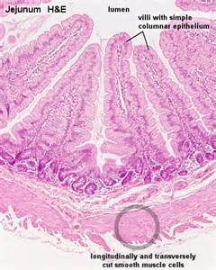 connective tissue disorder smooth muscle picture 13