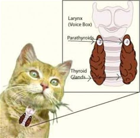 thyroid problems cats picture 9