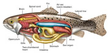 blood flow of bony fish picture 2