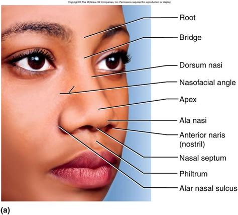 facial anatomy lips picture 13