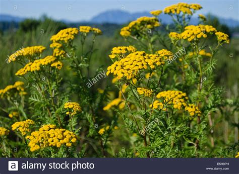 tansy herb in philippines picture 18
