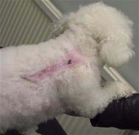 bichons and skin problems picture 1