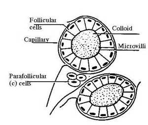 colloid and follicular cells in thyroid picture 6
