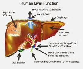 liver function studies picture 2