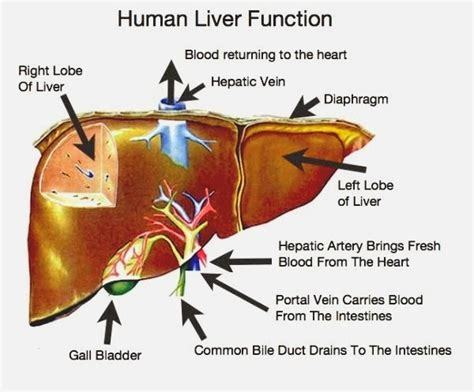 function of human liver picture 3